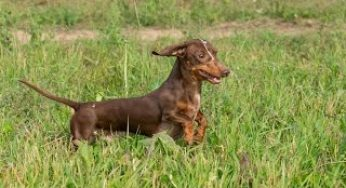 Miniature Dachshund, Puppies, Dogs, For Sale, In Raleigh, North
